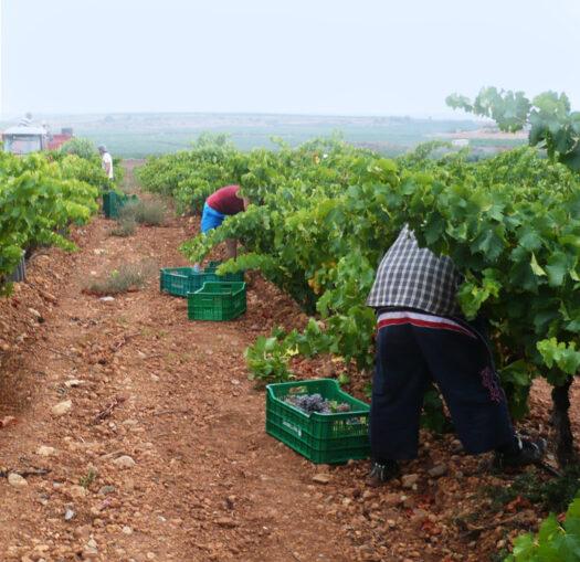 Trabajos en viñas Lacus